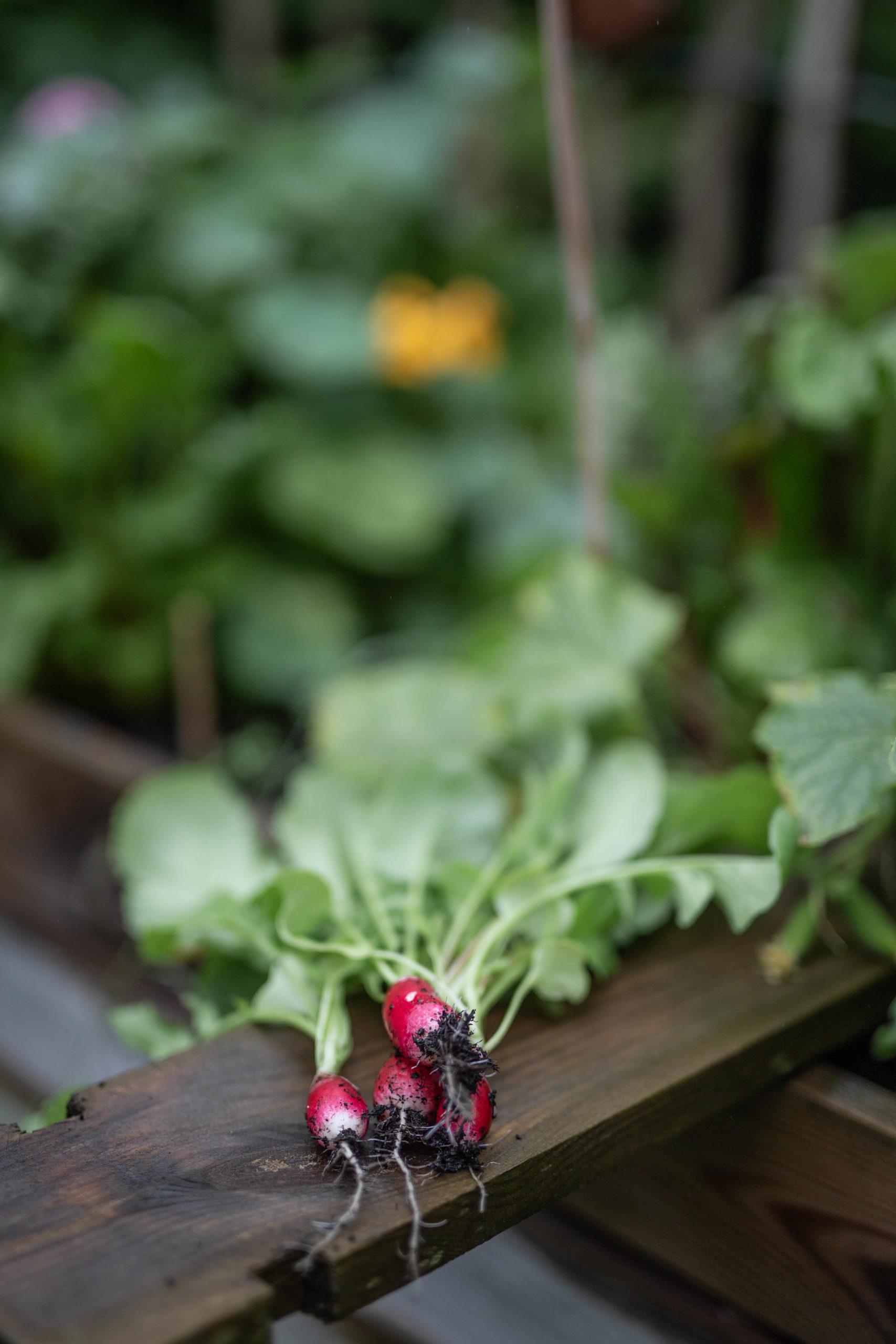 Radieschen fermentieren im Glas - Gemüse fermentieren leicht gemacht | Syl Gervais - Gesunde, vegane Rezepte und Fermentier-Workshops